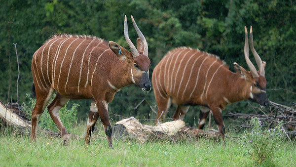 Animals, Antelope, Bongo, Marwell Zoo @ MarWell Zoo, City of Winchester,England - 05/08/2017