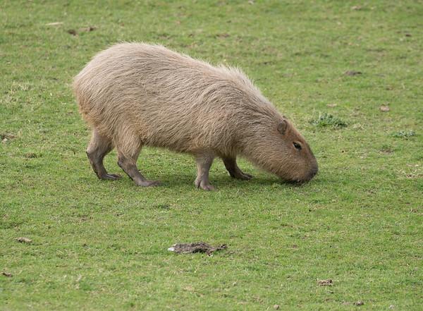 Animals, Capybara, Marwell Zoo - 30/03/2016