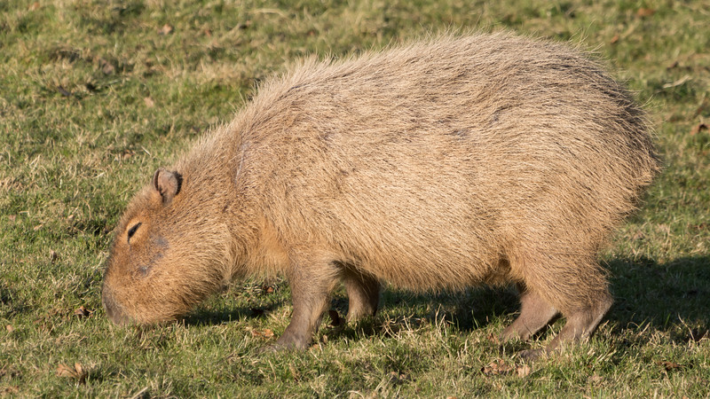 Animals, Capybara, Marwell Zoo @ Marwell Zoo, City of Winchester,England - 24/02/2018