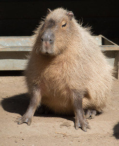 Animals, Capybara, Marwell Zoo - 02/04/2013