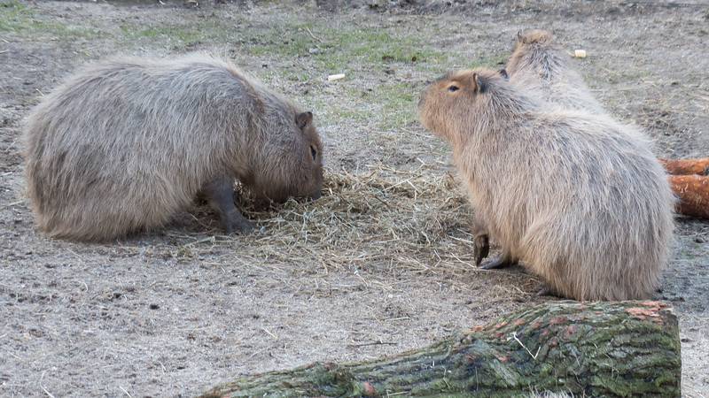 Animals, Capybara, Marwell Zoo - 02/02/2013