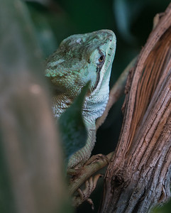 Animals, Casque-Headed Iguana, Helmet-Headed, Laemanctus Serratus, Marwell Zoo @ MarWell Zoo, City of Winchester,England