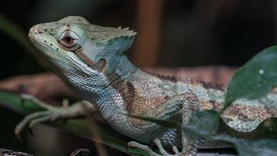 Animals, Casque-Headed Iguana, Helmet-Headed, Laemanctus Serratus, Marwell Zoo @ Colden Common, City of Winchester,England
