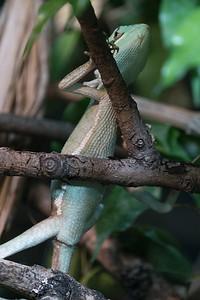 Animals, Casque-Headed Iguana, Helmet-Headed, Laemanctus Serratus, Marwell Zoo @ MarWell Zoo, City of Winchester,England