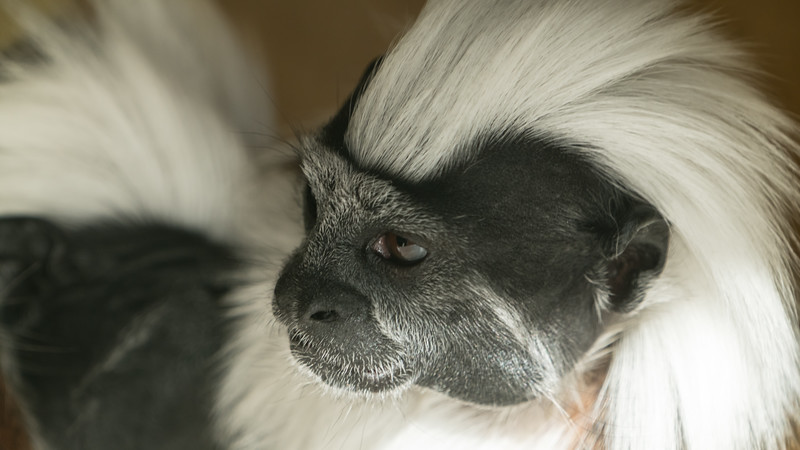 Animals, Cotton-Top Tamarin, Marwell Zoo @ Marwell Zoo, City of Winchester,England - 04/02/2018
