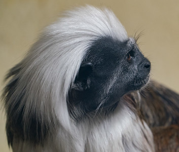 Animals, Cotton-Top Tamarin, Marwell Zoo @ Colden Common, City of Winchester,England