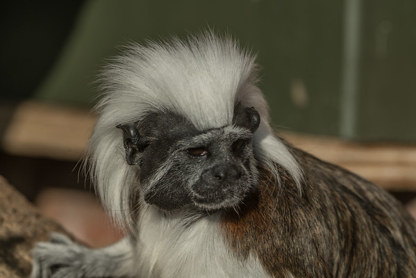 Animals, Cotton-Top Tamarin, Marwell Zoo @ Marwell Zoo, City of Winchester,England - 24/02/2018