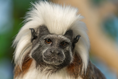 Animals, Cotton-Top Tamarin, Marwell Zoo @ Marwell Zoo, City of Winchester,England