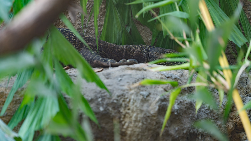 Animals, Crocodile Monitor, Marwell Zoo, Tropical House @ Marwell Zoo, City of Winchester,England - 22/03/2018