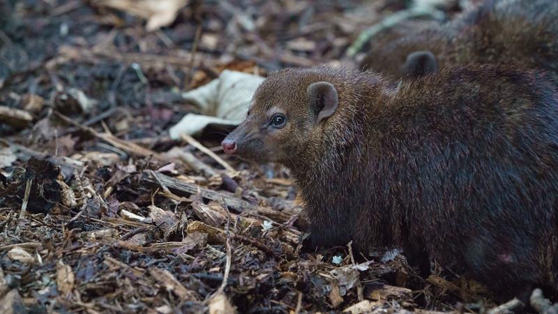 Animals, Cusimanse, Marwell Zoo - 09/12/2017