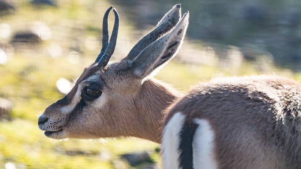Animals, Dorcas Gazelle, Gazelle, Marwell Zoo