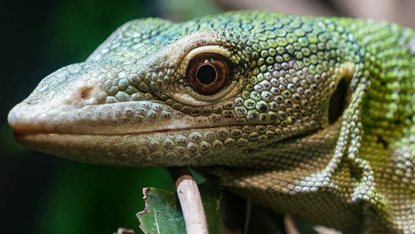 Animals, Emerald Tree Monitor, Marwell Zoo @ Marwell Zoo, City of Winchester,England - 26/04/2018