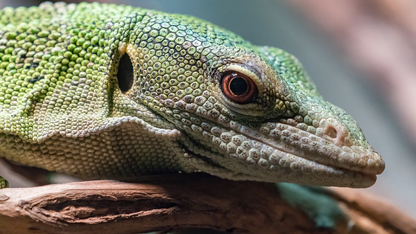 Animals, Emerald Tree Monitor, Marwell Zoo @ Marwell Zoo, City of Winchester,England - 26/04/2018