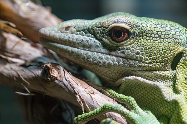 Animals, Emerald Tree Monitor, Marwell Zoo @ MarWell Zoo, City of Winchester,England