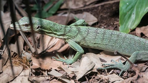 Animals, Emerald Tree Monitor, Marwell Zoo - 09/12/2017