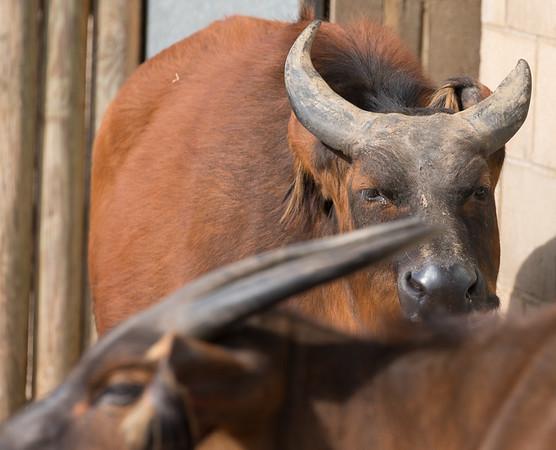 Animals, Buffalo, Congo Buffalo, Forest Buffalo, Marwell Zoo - 30/03/2016