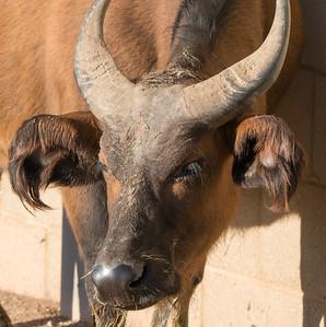Animals, Buffalo, Congo Buffalo, Marwell Zoo @ Colden Common, City of Winchester,England