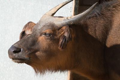 Animals, Buffalo, Congo Buffalo, Forest Buffalo, Marwell Zoo @ Marwell Zoo, City of Winchester,England - 24/02/2018