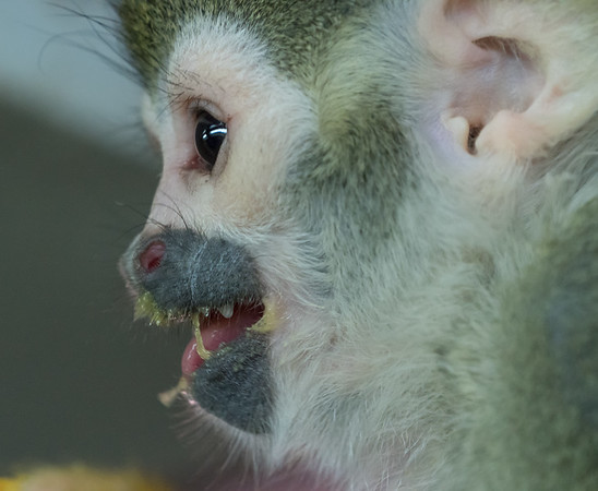 Animals, Guianan Squirrel Monkey, Marwell Zoo @ Colden Common, City of Winchester,England