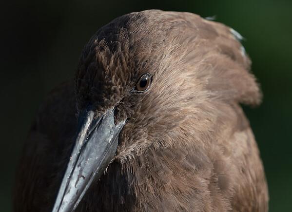 Animals, Birds, Hamerkop, Marwell Zoo, Walkthrough Aviary @ MarWell Zoo, City of Winchester,England