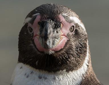Animals, Birds, Humboldt, Marwell Zoo, Penguin @ Marwell Zoo, City of Winchester,England