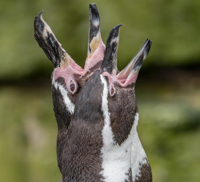 Animals, Birds, Humboldt, Marwell Zoo, Penguin @ Marwell Zoo, City of Winchester,England - 28/01/2018