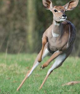 Animals, Lesser Kudu, Marwell Zoo @ MarWell Zoo, City of Winchester,England