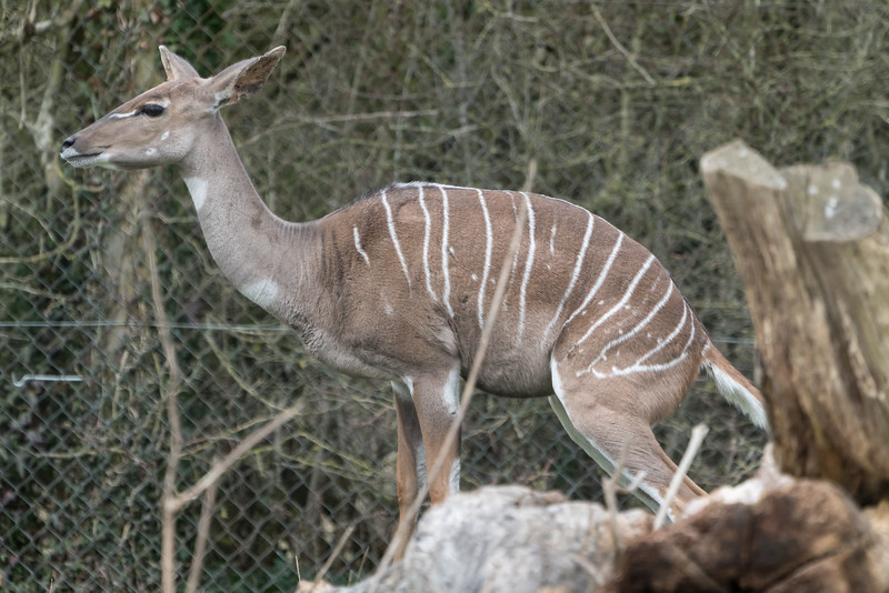Animals, Lesser Kudu, Marwell Zoo @ Marwell Zoo, City of Winchester,England - 22/03/2018