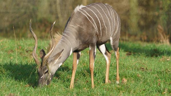Animals, Lesser Kudu, Marwell Zoo - 09/12/2017