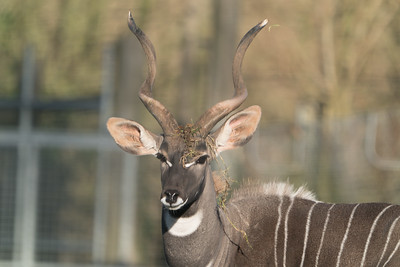 Animals, Lesser Kudu, Marwell Zoo @ Colden Common, City of Winchester,England