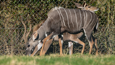 Animals, Lesser Kudu, Marwell Zoo @ Marwell Zoo, City of Winchester,England - 04/02/2018