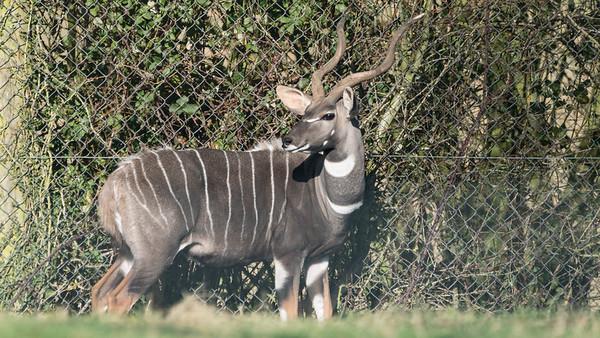 Animals, Lesser Kudu, Marwell Zoo @ Marwell Zoo, City of Winchester,England - 04/02/2018