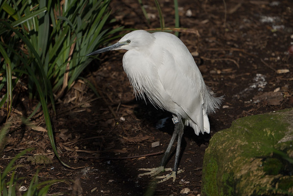 Animals, Birds, Egret, Little Egret, Marwell Zoo, Walkthrough Aviary @ Marwell Zoo, City of Winchester,England