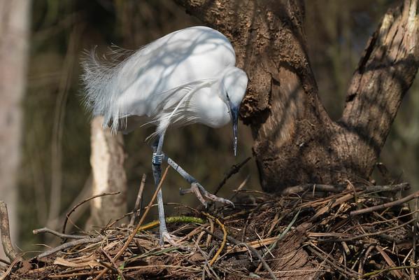 Animals, Birds, Egret, Little Egret, Marwell Zoo, Walkthrough Aviary @ Marwell Zoo, City of Winchester,England - 24/02/2018
