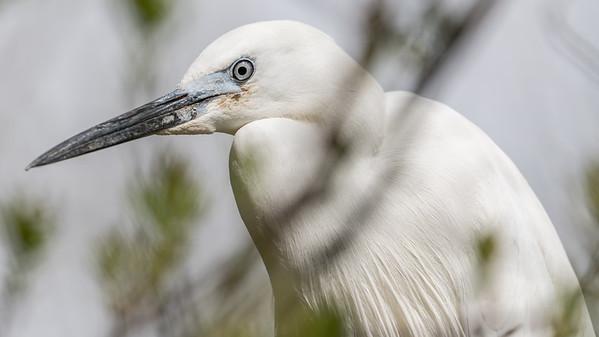 Animals, Birds, Egret, Little Egret, Marwell Zoo @ Marwell Zoo, City of Winchester,England - 26/04/2018