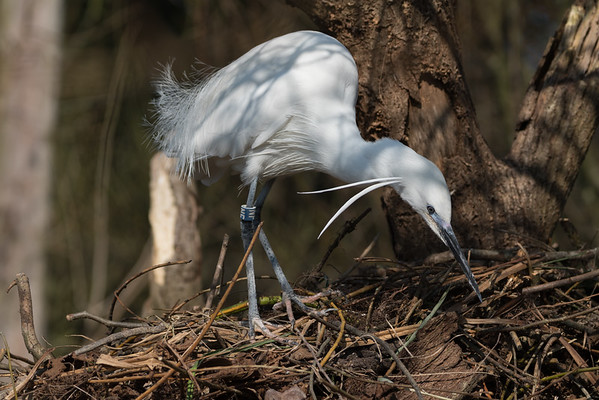 Animals, Birds, Egret, Little Egret, Marwell Zoo, Walkthrough Aviary @ Marwell Zoo, City of Winchester,England - 24/02/2018