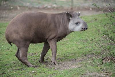Animals, Brazillian Tapiar, Lowland Tapir, Marwell Zoo, Tapir - 30/03/2016