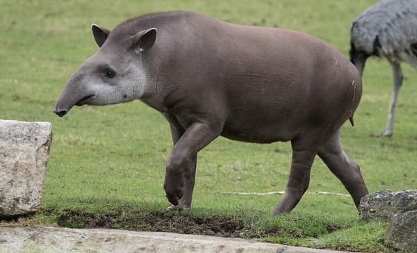 Animals, Brazillian Tapiar, Lowland Tapir, Marwell Zoo, Tapir, Zoo - 26/02/2016