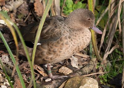 Animals, Birds, Duck, Madagascan Teal, Marwell Zoo; ,,,