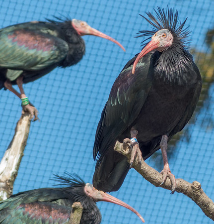 Animals, Birds, Marwell Zoo, Northern Bald Ibis - 02/04/2013