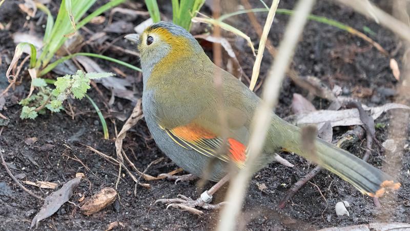 Animals, Birds, Marwell Zoo, Omei Shan Liocichla, Walkthrough Aviary @ MarWell Zoo, City of Winchester,England