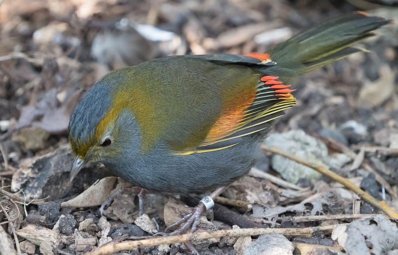 Animals, Birds, Marwell Zoo, Omei Shan Liocichla, Walkthrough Aviary @ Marwell Zoo, City of Winchester,England - 24/02/2018