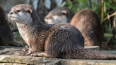 Animals, Marwell Zoo, Oriental Short-Clawed Otter, Otter @ Marwell Zoo, City of Winchester,England - 24/02/2018