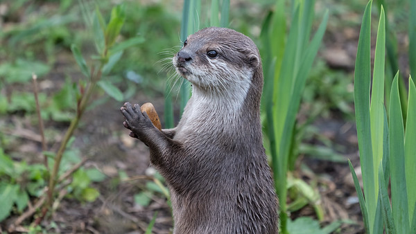 Animals, Marwell Zoo, Oriental Short-Clawed Otter, Otter @ Marwell Zoo, City of Winchester,England - 26/04/2018