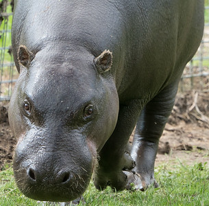Animals, Hippopotomus, Marwell Zoo, Pygmy Hippo @ MarWell Zoo, City of Winchester,England - 05/08/2017