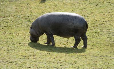 Animals, Hippopotomus, Marwell Zoo, Pygmy Hippo - 30/03/2016