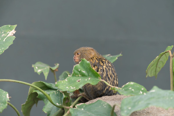 Animals, Marwell Zoo, Pygmy Marmoset, Tropical House @ Marwell Zoo, City of Winchester,England - 26/04/2018