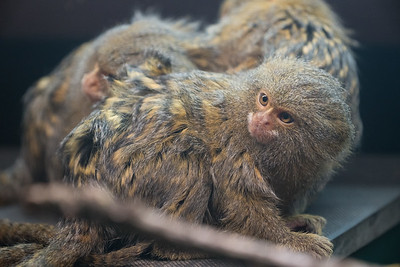 Animals, Marwell Zoo, Pygmy Marmoset; ,,,