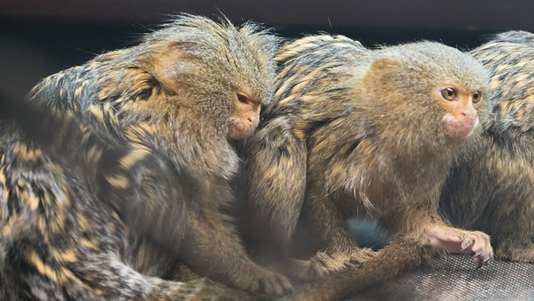 Animals, Marwell Zoo, Pygmy Marmoset @ Marwell Zoo, City of Winchester,England - 04/02/2018