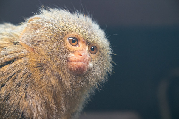 Animals, Marwell Zoo, Pygmy Marmoset - 09/12/2017
